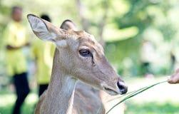 Close up of deer Stock Photos