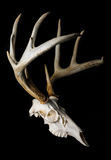 Close Up of Deer Skull on Black Background Side View Stock Photos