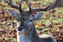 Close-Up of Deer. Taken on a crisp winter morning - this is a close-up of a deer in Bushy Park, London Royalty Free Stock Image