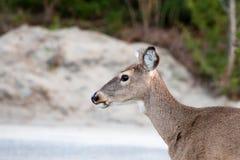 Deer walking in park. Close up deer walking in pathway beach  in evening Royalty Free Stock Photos