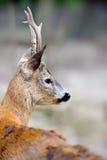 Close-up deer Stock Photo