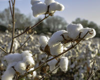 Close up of defoliated cotton plant Royalty Free Stock Image