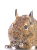Close up of Degu Stock Images