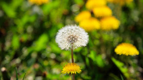 Close up of delicate dandelions Stock Image