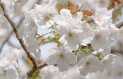 Detailed view of delicate pale pink cherry blossom, photographed in Regent`s Park, London. Close up of delicate light pink cherry blossom and foliage stock photo