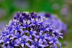 Delicate purple flowers in bloom. Close up of delicate purple flowers with a green background Stock Image