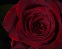 Delicate Red Rose. Close up of a delicate red rose.  Suitable for a greeting card Royalty Free Stock Photography
