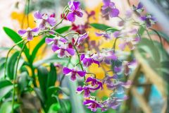 Close up dendrobium orchid in garden. Dendrobium orchids are available in a wide variety of colors and shades. With each stem containing 8-11 useable blooms Royalty Free Stock Photos