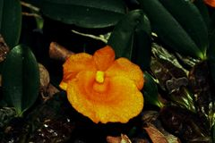 Beautiful orchid flower. Close-up of dendrobiun royalty free stock image