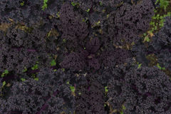 Close up of dense purple organic kale leaves Stock Photo