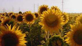Close-up, Departure, Sunflower Flowers Grow on the Field, Sway in the Wind. On the Background of High-Voltage Supports stock footage