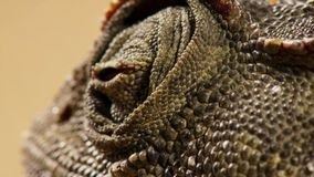 Close up of a Desert adapted Namaqua Chameleon Chamaeleo namaquensis in Namibia Africa. Wildlife concept royalty free stock images
