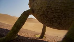 Close up of a Desert adapted Namaqua Chameleon Chamaeleo namaquensis in Namibia Africa. Wildlife concept stock photos