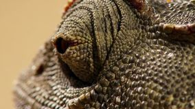 Close up of a Desert adapted Namaqua Chameleon Chamaeleo namaquensis in Namibia Africa stock photo
