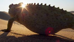 Close up of a Desert adapted Namaqua Chameleon Chamaeleo namaquensis in Namibia Africa stock photos