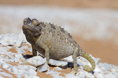 Close up of a desert chameleon Royalty Free Stock Image