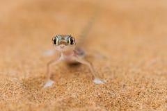 Close up a desert gecko Stock Photography