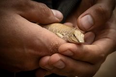 Close up of desert lizard in man`s hand. Africa royalty free stock image