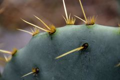 Close up: Prickly Pear stock photography