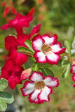 Close up of desert rose. Or impala lily Stock Photography