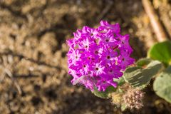 Close up of desert sand-verbena Abronia villosa blooming in Anza Borrego Desert State Park, San Diego county, California royalty free stock photography