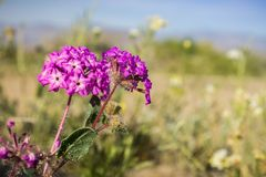 Close up of desert sand-verbena Abronia villosa blooming in Anza Borrego Desert State Park, San Diego county, California stock images