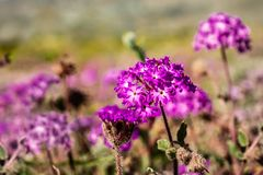 Close up of desert sand-verbena Abronia villosa blooming in Anza Borrego Desert State Park, San Diego county, California stock photo