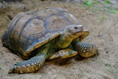 Close-up detail of a African spurred tortoise stock photography