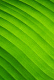 Close up detail background texture of green banana leaf. Royalty Free Stock Images