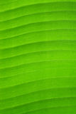 Close up detail background texture of green banana leaf. Royalty Free Stock Photography
