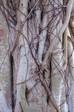Close-up detail of banyan tree roots, the Temple of the Emerald Stock Image