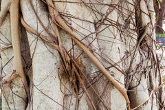 Close-up detail of banyan tree roots, the Temple of the Emerald Stock Photography