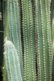Close up detail of a beautiful and impressive big vertical succulent cactus, Royalty Free Stock Photo
