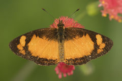 Close up detail of a black and orange butterfly on a red flower from above Stock Photo