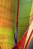 Close up detail of Canna lily leaves Stock Photos