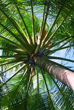 Close up detail of coconut tree Royalty Free Stock Photo