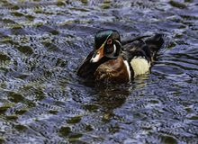 Wood Duck Male. Close up detail of colorful Wood Duck swimming Royalty Free Stock Image