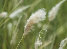 Closeup of cotton grass seed head Stock Images