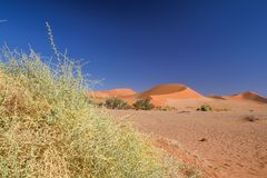 Close up detail of dead grass bushes in Sossusvlei near Sesriem in Namib Desert in Namibia, Africa. Beautiful red sand dunes in the background. Sossusvlei is a stock photo