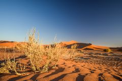 Close up detail of dead grass bushes in Sossusvlei near Sesriem in Namib Desert in Namibia, Africa. Beautiful red sand dunes in the background. Sossusvlei is a stock photos