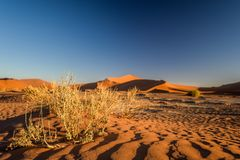 Close up detail of dead grass bushes in Sossusvlei near Sesriem in Namib Desert in Namibia, Africa. Beautiful red sand dunes in the background. Sossusvlei is a Royalty Free Stock Images