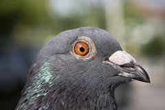 Close up detail in eyes and head feather of homing pigeon bird. Close up detail in eyes and  head feather of homing pigeon bird royalty free stock image