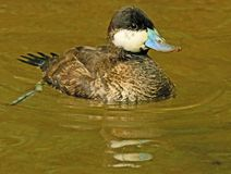 Ruddy Duck. Close up detail of female Ruddy duck swimming royalty free stock image