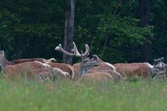 Close up detail flock of stags walking in the forest stock photography