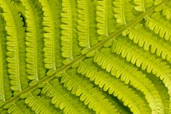 Close up detail of a fresh fern leaf growing in a formal garden stock image