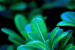 Detail of green fleshy leaves. Close-up detail of green fleshy leaves saturated with blue reflections of a shrub plant royalty free stock image
