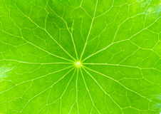 Close up detail green leaf of Green Asiatic Pennywort Royalty Free Stock Photography