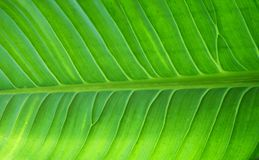 Close up detail of green leaf, Natural background royalty free stock photo