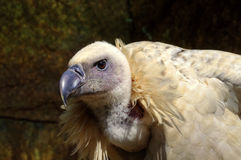 Close Up Detail of Head of Vulture Royalty Free Stock Image