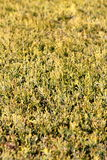 Hedge detail Royalty Free Stock Photography